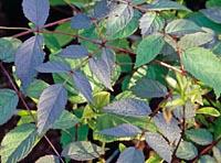 Aralia aff. chinensis