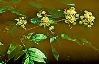 Aralia racemosa