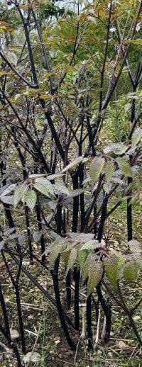 Aralia apioides