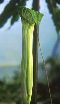 Arisaema kelung-insulare