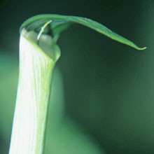Arisaema grapsospadix