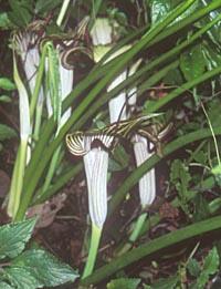 Arisaema thunbergii ssp. autumnale