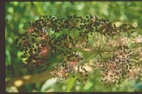 Aralia cordata v. sachalinensis