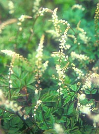 Aruncus 'Little Gem'