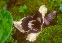 Asarum longerhizomatosum