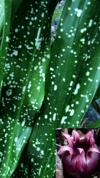 Aspidistra daibuensis 'Totally Dotty'
