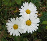 Chrysanthemum aff. yezoense