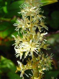 Astilbe thunbergii v. okuyamae