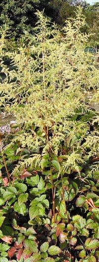 Astilbe rivularis v. myriantha