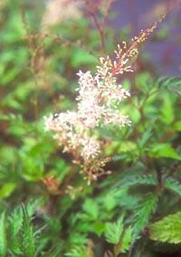 Astilbe thunbergii v. terrestris