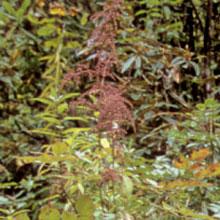 Astilbe rivularis