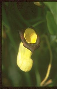 Aristolochia kaempferi