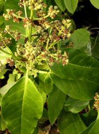 Aucuba japonica 'Lance Leaf'