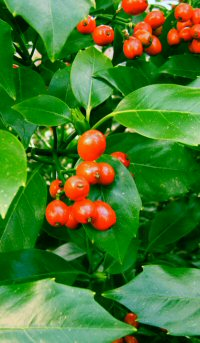 Aucuba japonica v. viridis