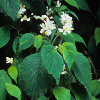 Begonia ferruginea