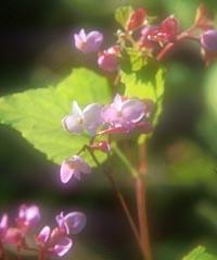 Begonia sinensis
