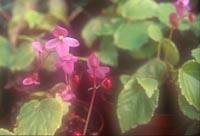 Begonia wynn-jonesiae 'Pink Lady'