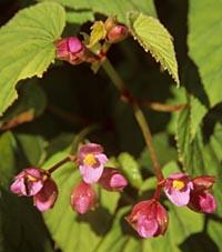 Begonia aff. sinensis
