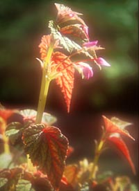 Begonia sinensis 'Red Undies'