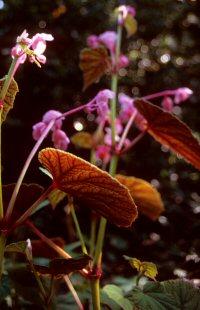 Begonia grandis ssp. evansiana