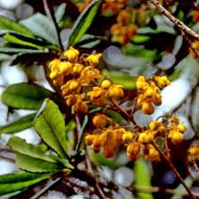 Berberis aff. verticillata
