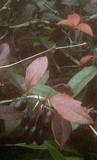 Berberis subacuminata