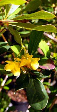 Berberis macrosepala v. macrosepala