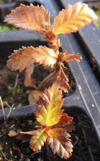 Betula michauxii