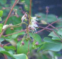 Boenninghausenia albiflora pink tinged