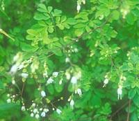 Boenninghausenia japonica
