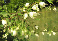Boenninghausenia albiflora