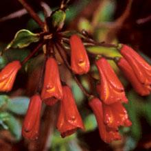 Bomarea aff. costaricensis