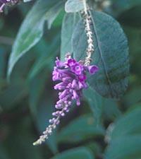 Buddleja curviflora f. venenifera