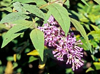 Buddleja delavayi (heliophylla)
