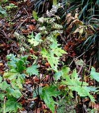 Cacalia farfarifolia v. acerina
