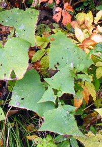 Cacalia auriculata v. kamtschatica