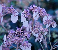 Cardiandra formosana 'Crûg's Abundant'