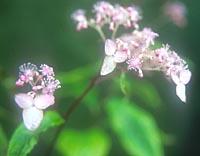 Cardiandra alternifolia