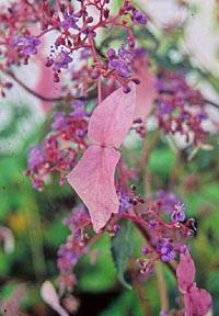 Cardiandra formosana 'Hsitou'