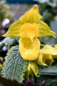 Calceolaria perfoliata