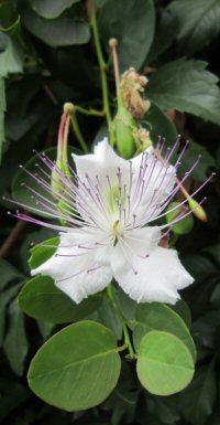 Capparis spinosa v. inermis