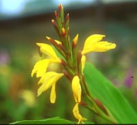 Cautleya cathcartii 'Tenzing's Gold'