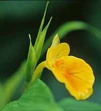 Caulokaempferia petelotii