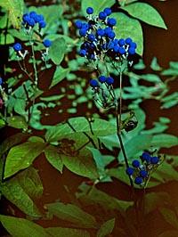 Caulophyllum thalictroides ssp. robustum