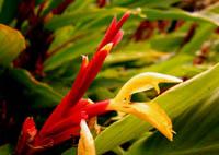 Cautleya spicata 'Arun Flame'