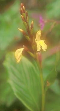 Cautleya gracilis