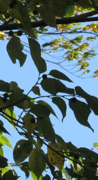 Celtis choseniana