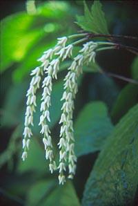 Chloranthus oldhamii