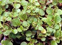 Chrysosplenium lanuginosum v. formosanum