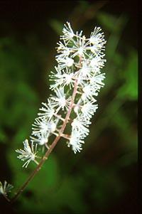 Actaea taiwanensis